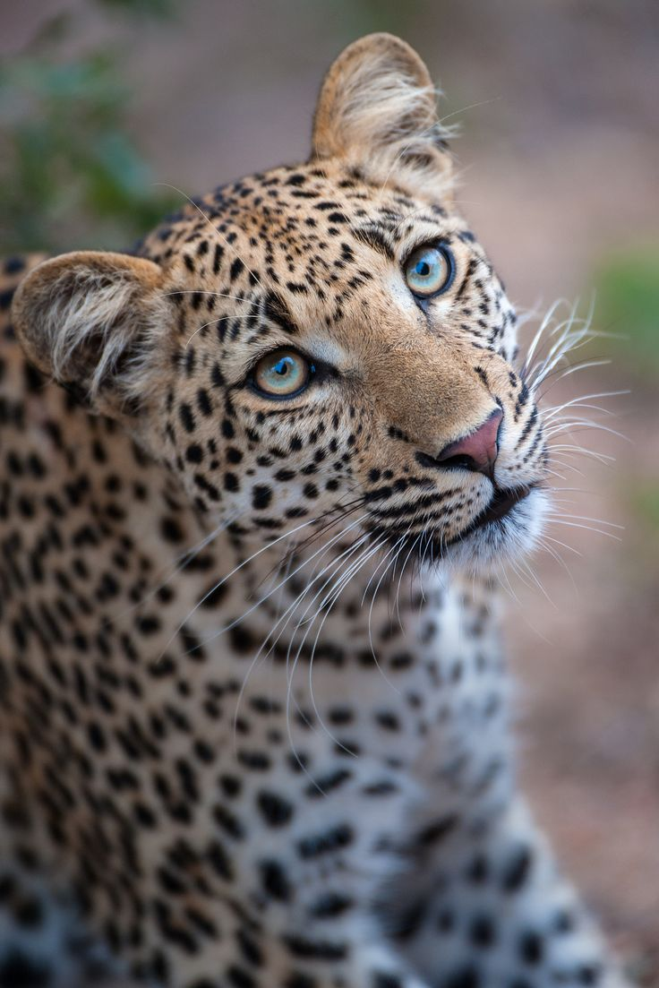 Leopard Eyes - I am mesmerised daily by the beauty of the eyes of this young female Leopard I have the luck to photograph regularly.