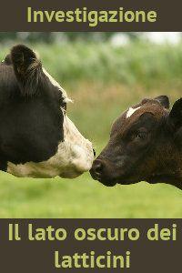 Investigazione  Il lato oscuro dei latticini  La realtà della produzione di latte e latticini: mucche sfruttate e poi uccise, vitellini al macello a 6 mesi.