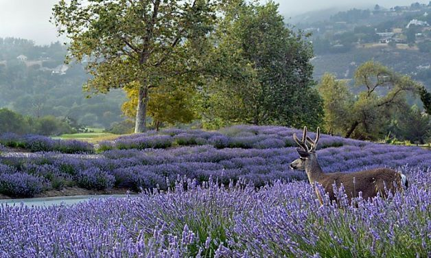 Beekeeper John Russo  planted 7,000  lavendeer plants at Carmel Valley Ranch in 2010, but their beautiful blooms appeal to more than just bees. Photo: Carmel Valley Ranch