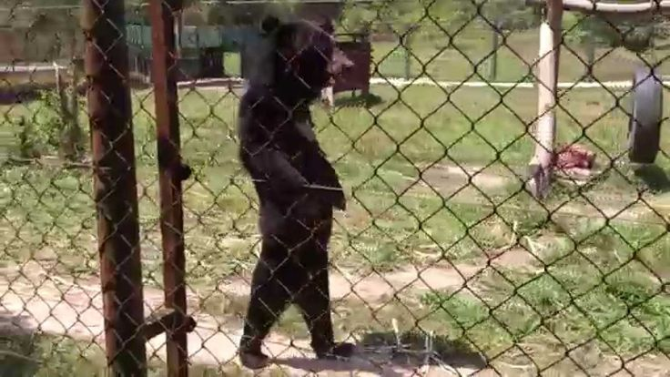 A Rescued Asiatic Black Bear Walks Upright on His Hind Legs Around His Enclosure