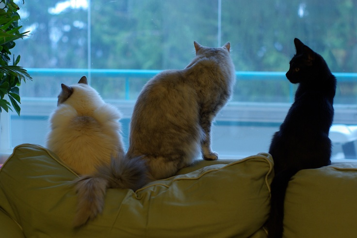 Jilda, Silverpaw and Paco on a sofa watching birds.