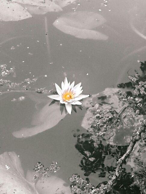 Flor de loto en el lugar sagrado centralDeJuventudes