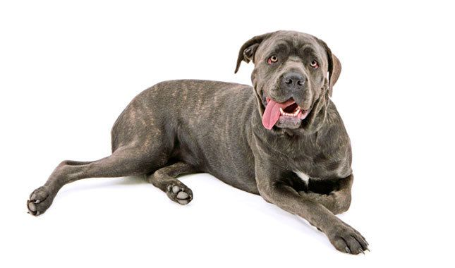 This Italian mastiff was bred to hunt wild boar and today acts as a guard dog. Fiercely devoted to his family, he doesn't care for strangers or small animals. More athletic and agile than other mastiffs, he'll sit at your feet with impressive weight.Canes Corso, Foot Soak, Dogs Breeds, Corso Breeds, Fury Friends, Guard Dogs, Corso Dogs, Cane Corso, Hunting Wild