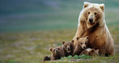 Four brown bears sitting next to their mother.