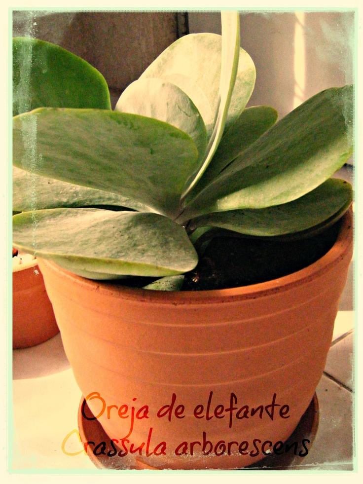 La nueva adquisición Oreja de elefante:Crassula arborescens    Clase. Magnoliopsida  Familia. Crassulaceae Descripción. Planta que puede llegar a medir hasta 5 m de altura. Suculenta perennifolia. Sus hojas son carnosas, redondeadas y lisas. Las flores son de color rosa pálido y aparecen en invierno o principios de primavera. Se cultiva en interior o en exteror. Curiosidades. Ornamental para uso interno y externo. Su nombre hace referencía a sus enormes hojas. Nicho Ecológico. Suráfrica