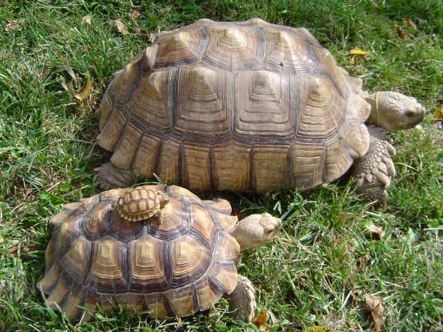 sulcata tortoise! Ours will soon be huge... He looks more like the little guy right now.