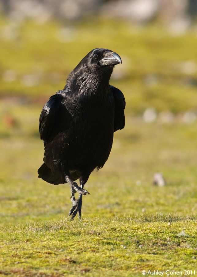 ****LOVE THIS!!***  Crow looks like s/he's Skipping Along to a Song!!  :)