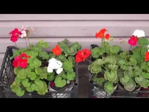 Герань-пеларгония,как сохранить зимой. - YouTube