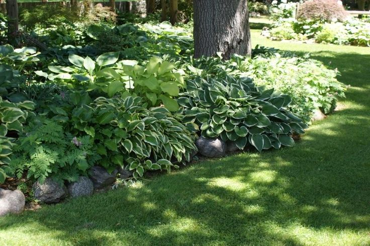 Create a cool oasis with hostas under a shady tree.