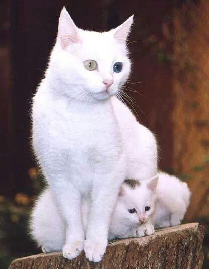 Van Kedisi Anne Ve Yavru