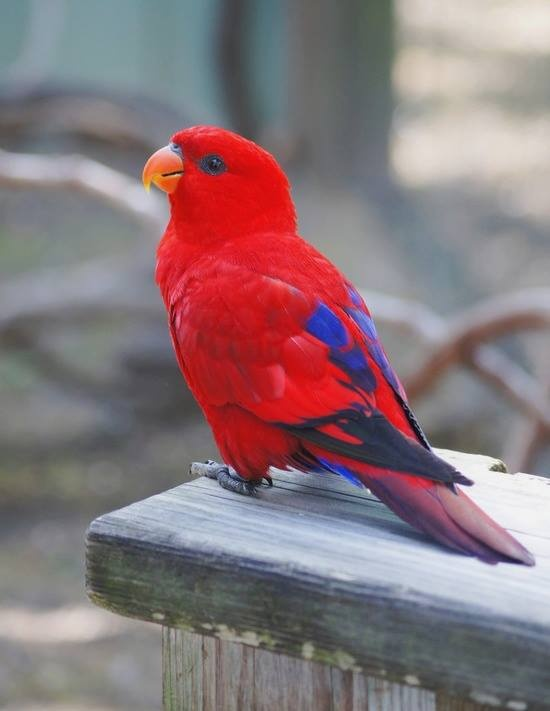 Red lory, endemic to the Maluku islands (Indonesia)