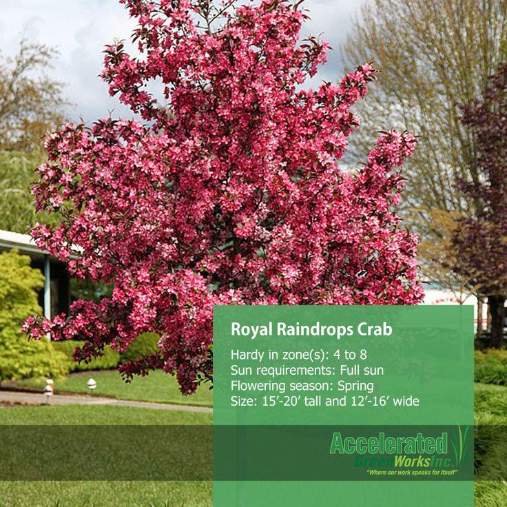 Royal Raindrops Crab Trees Plants Deciduous Trees