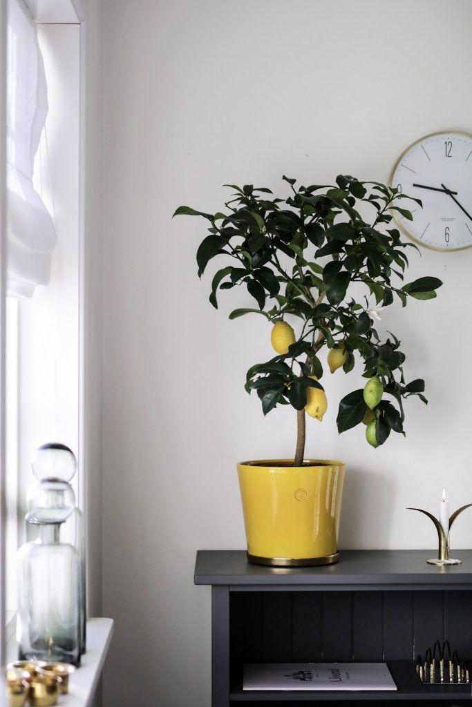 Ett litet citronträd i mitt kök