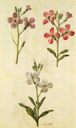 Gilly Flowers, by Jacques Le Moyne de Morgues