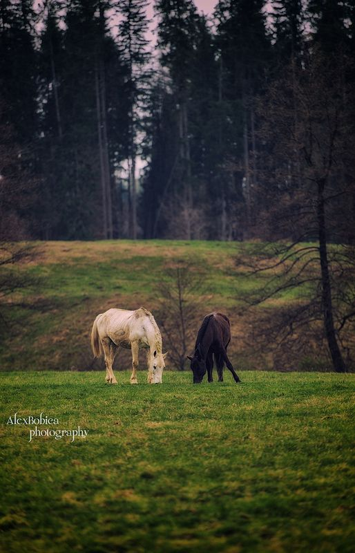 Black and White - #horses, #Romania, #Arges, #AlexBobicaPhotography