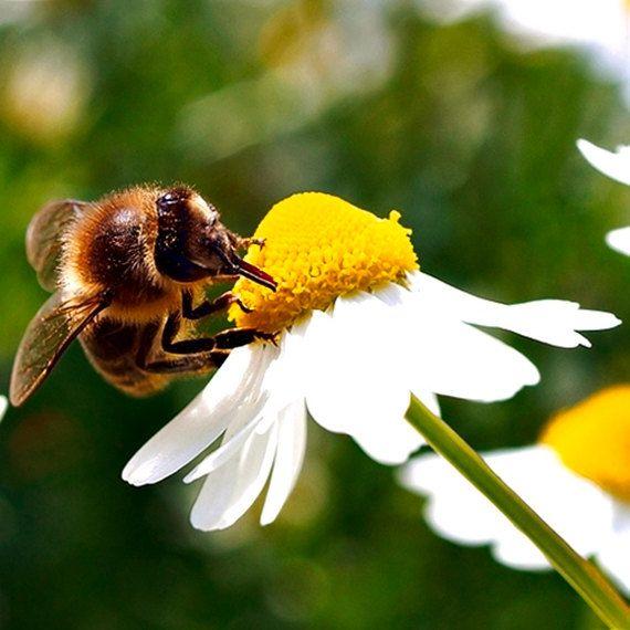 over 150 Seeds Matricaria camomilla bees di HoneyTreeandBehind