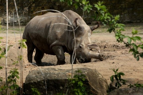 Northern White Rhino - Northern White Rhino Dies, Leaving Only 4 Left on Earth