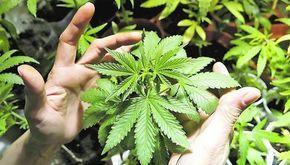 En esta sencilla pero completa guía vamos a ver como plantar marihuana en interior y en exterior, partiendo de semillas feminizadas, regulares, auto-florecientes o de esquejes... Intentaremos no ir por las ramas y mostrar todos …