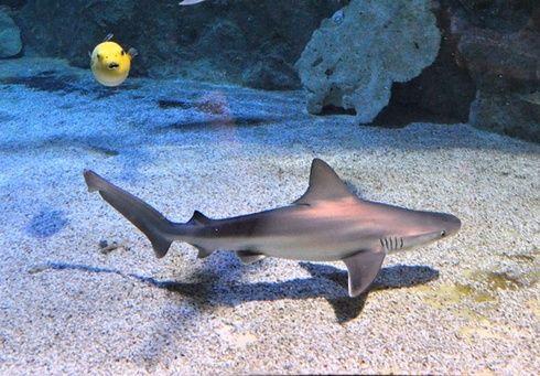 Naissances exceptionnelles à l'Océarium du Croisic : 8 requins gris sont nés cette nuit