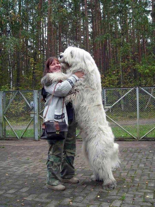 21 Cachorros Que Não Percebem O Quão Grande Eles Realmente São