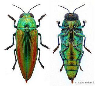 Eurythyrea aurata (Coleoptera, Buprestidae) male. Golden jewel beetle (prepared) | por Nikola Rahme
