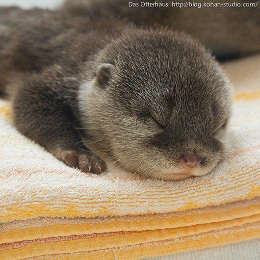 Sleeping otter pup