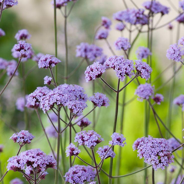 Verbena bonariensis - Argentinian Vervain - Dobbies Garden Centres