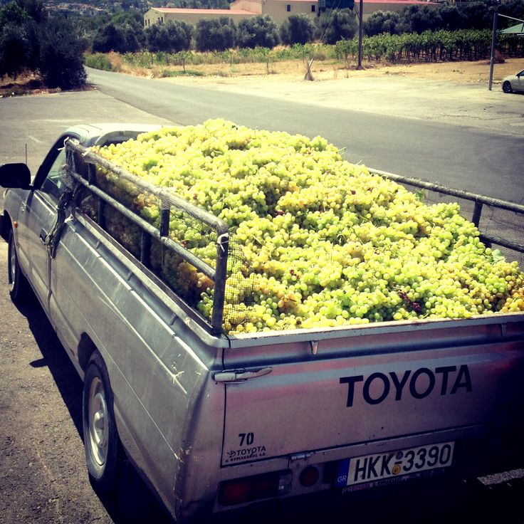 Grape delivery to Peza Union, Crete