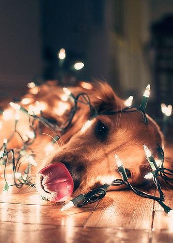 Golden Retriever Wrapped in Christmas Lights