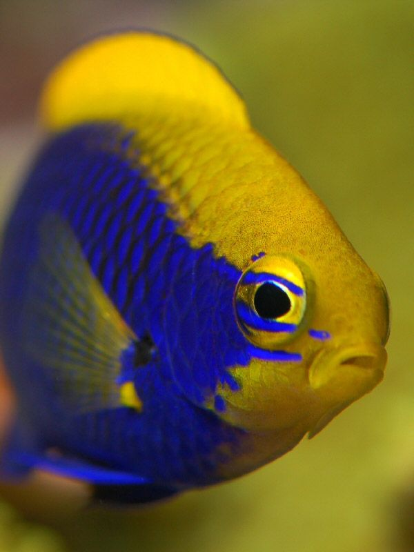 813 Best Fish Damselfish And Clownfish Images On