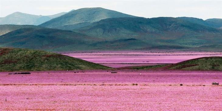 Miles de flores en uno de los lugares más áridos de la tierra.