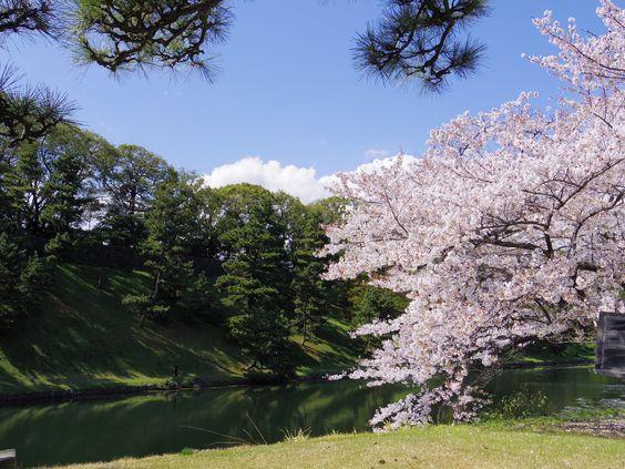 皇居の桜 お花見: