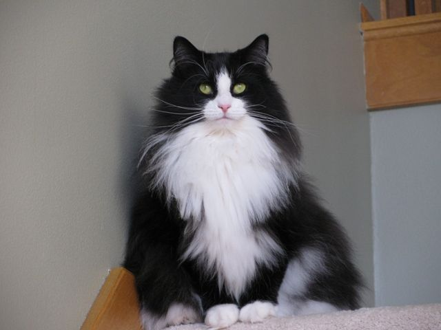 Emmie is a retired show cat born in 2005 who is looking for a lovely retirement home where she can be the only pet and get spoiled rotten.  She's a Norwegian Forest Cat and is gorgeous. (Currently located in Iowa.)