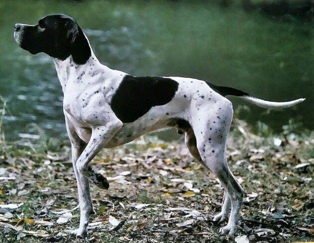 Der englische Pointer ist ein hervorragender Jagdhund mit einer extrem feinen Nase, exzellenten Vorsteheigenschaften