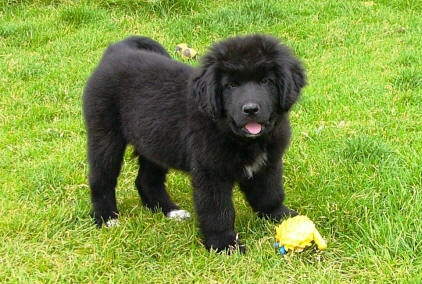 I want a Newfoundland puppy!