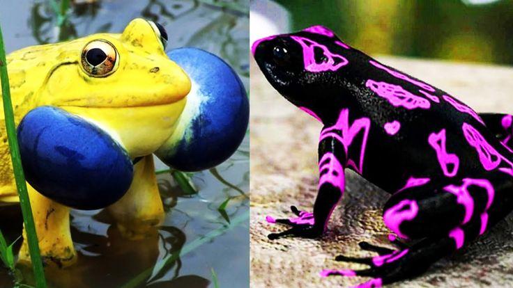 Необычные лягушки и жабы.Unusual frogs and toads.