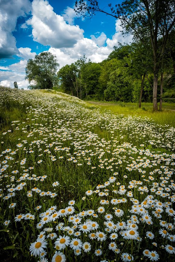 The river of white daisies