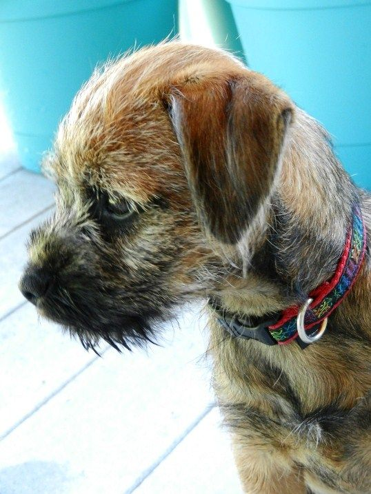 Sterling the Border Terrier puppy <3 I have a weakness for scruffy terriers (by evidence of my two terror-ers!)