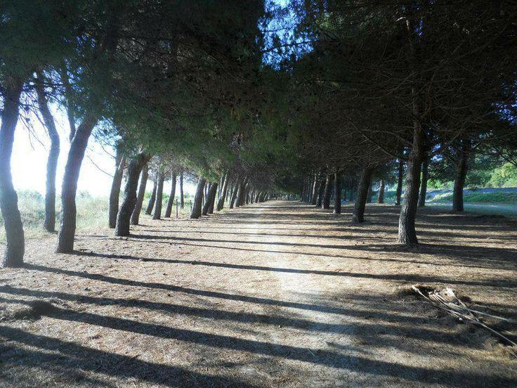 Walking under the pinewood. Hotel la Pineta, Pineto.