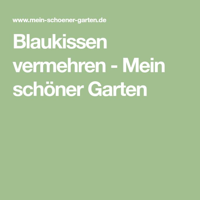 Blaukissen vermehren - Mein schöner Garten