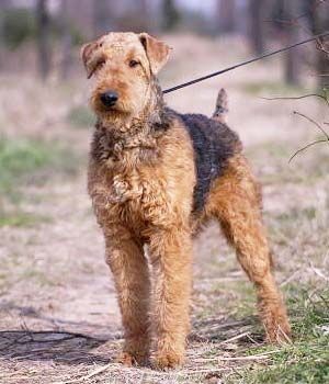 Airedale Terrier breed info,Characteristics,Hypoallergenic:Yes