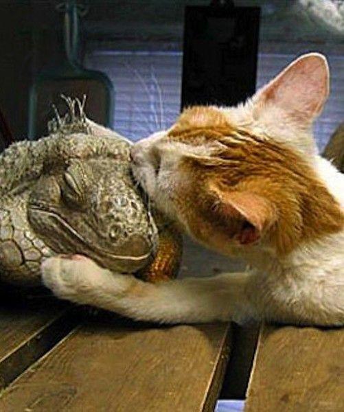 17 Best Images About I Love Iguanas On Pinterest