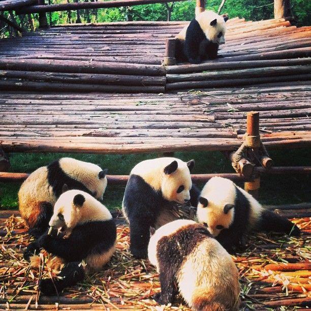 熊猫繁育研究基地 Chengdu Giant Panda Breeding Research Base in 成都, 四川