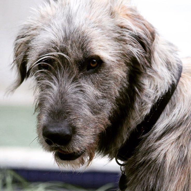 Eddy. #irishwolfhound