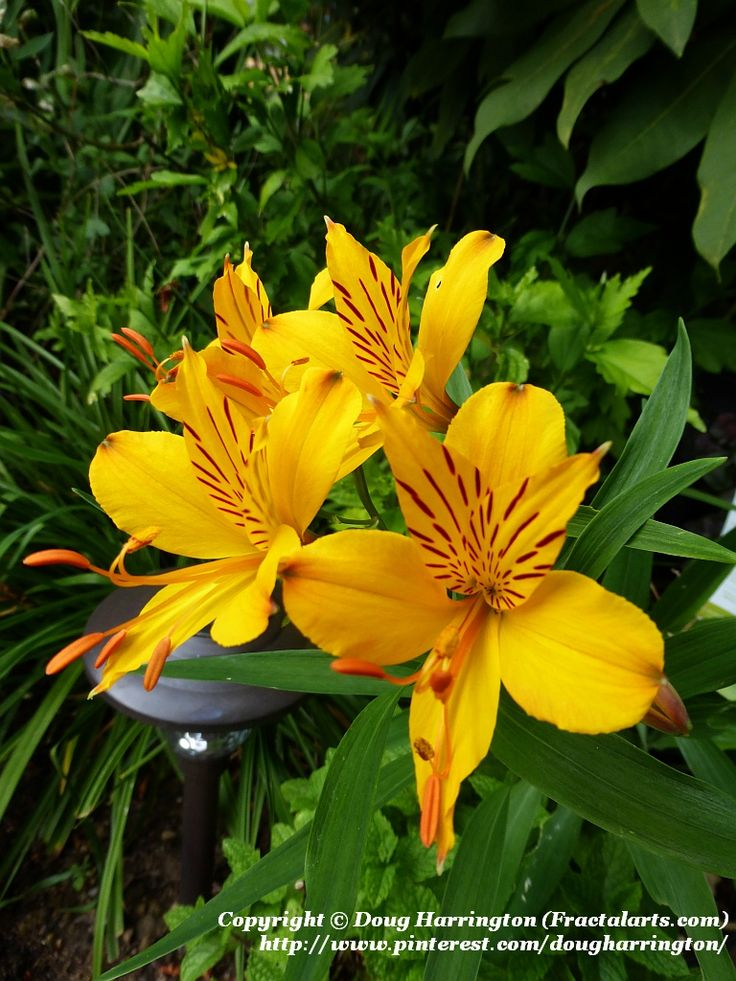 one of several varieties of alstroemeria peruvian lily inca lily in my garden great cut. Black Bedroom Furniture Sets. Home Design Ideas