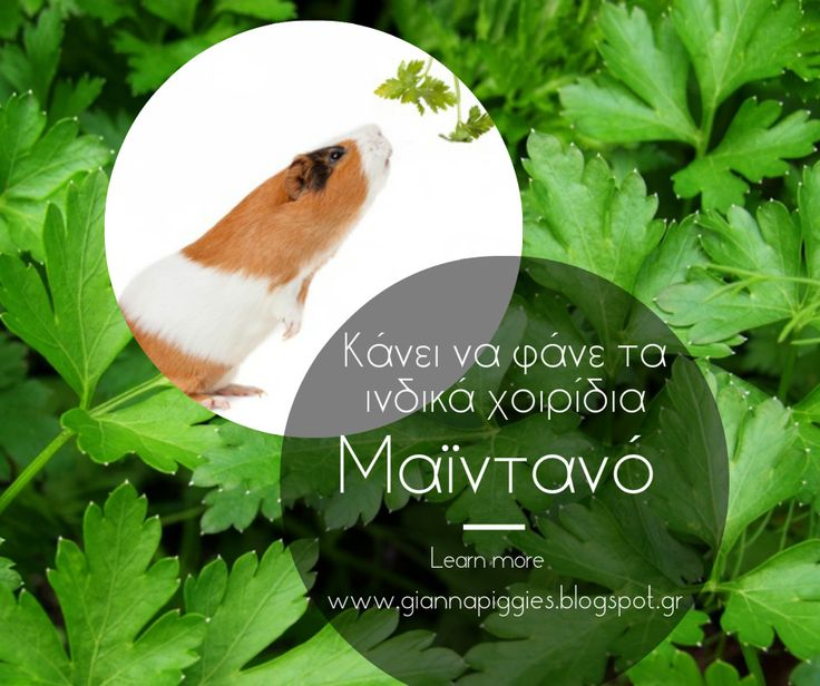 Can guinea pigs eat parsley? Κάνει να φάνε τα ινδικά χοιρίδια μαϊντανό? Learn more www.giannapiggies.blogspot.gr