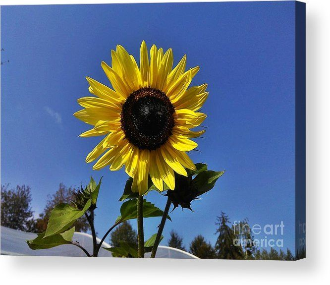 Sunflower Acrylic Print featuring the photograph The Shining Sunflower by Erika H