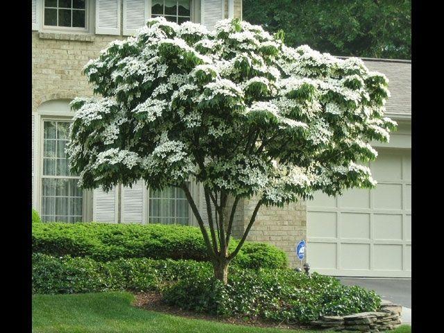 Tree Nursery Company - Kousa Dogwood Tree, $10.99 (http://www.treenurseryco.com/kousa-dogwood-tree/)