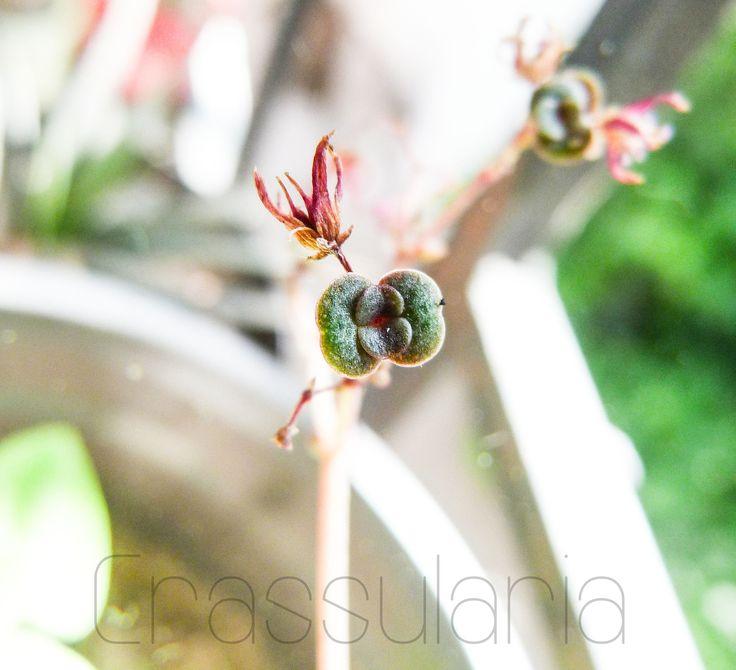Cría creciendo en vara floral de Crassula Multicava. Suculenta Multicava.