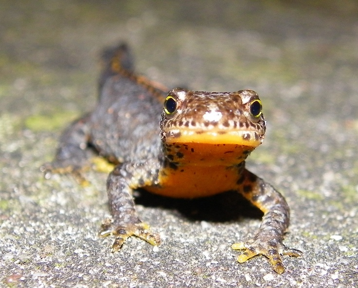 Alpensalamander, of zo iets...  #Alpensalamander #Alpine #Salamander